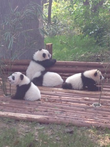 Panda Cubs at the Chengdu Research Base