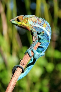 One of the stunning Chameleon we saw on Madagascar's northern islands