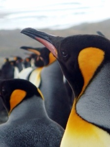 The penguins go about their business as if you were not there