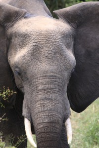 One of the many elephants in the Kruger National Park