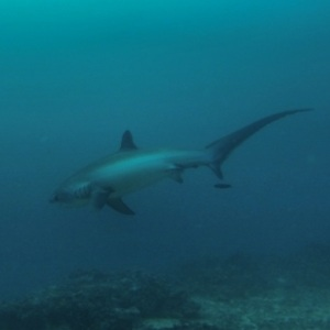 The amazing tail of the Thresher Shark off Malapascua