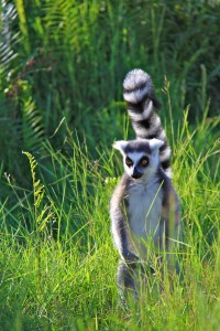 A Ring Tailed Lemur in the  Andasibe National Park, Madagascar