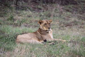 Our first Lion in Nakuru National Park