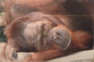 Minding his business - a snoozing Orang-Utan at Sepilok (taken on a film camera)